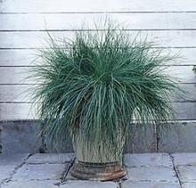 Ornamental Grass Seed - Festuca Fescue Glauca Festina