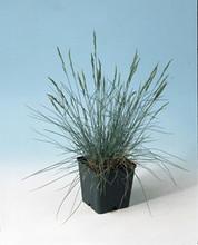 Ornamental Grass Seed - Festuca Fescue Glauca Blue