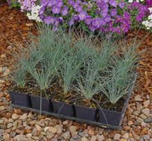 Ornamental Grass Seed - Fescue Amethystina