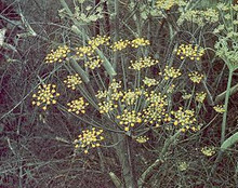 Herb Seeds - Fennel Non Bulbing