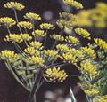 Herb Seeds - Fennel Florence