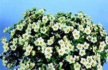 Exacum Persian Violet Midget White