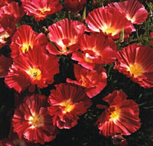 Eschscholzia Thai Silk Series Rose Bush