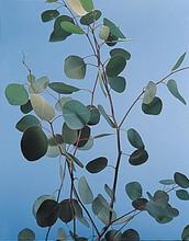 Eucalyptus Silver Dollar
