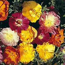 Eschscholzia Thai Silk Series Mix
