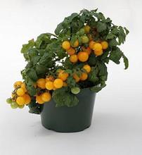 Sweet N Neat Yellow Tomato