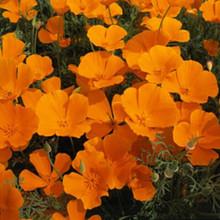 Eschscholzia California Poppy Orange King