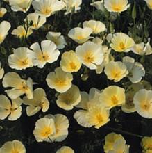 Eschscholzia California Poppy Ivory Castle