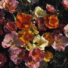 Eschscholzia California Poppy Mission Bells