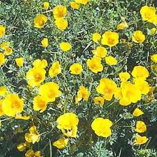 Eschscholzia California Poppy Golden West