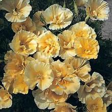 Eschscholzia California Poppy Chrome Queen