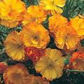 Eschscholzia California Poppy Thai Silk Apricot Chiffon