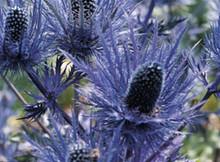 Eryngium Sea Holly Alpinum Blue Star