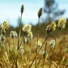 Ornamental Grass Seed - Eriophorum Vaginatum