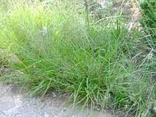 Ornamental Grass Seed - Eragrostis Trichoides