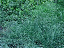 Ornamental Grass Seed - Eragrostis Elliotii Blue Eros