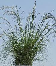 Ornamental Grass Seed - Eragrostis Curvula Weeping Love