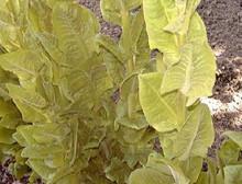 Endive Salad King
