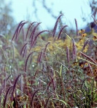 Ornamental Grass Seed - Elymus Canadensis