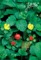 Duchesnea Indica Perennial Seeds