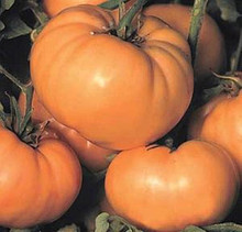 Dixie Golden Giant Heirloom Tomato
