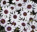 Dimorphotheca African Daisy Tetra Polar Star