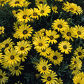Dimorphotheca African Daisy Sunshine Yellow