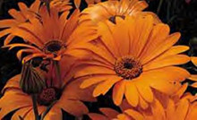 Dimorphotheca African Daisy Sunshine Orange