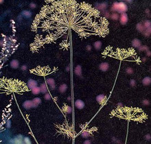 Herb Seeds - Dill Mammoth Long Island