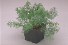 Herb Seeds - Dill Fern Leaf Dwarf