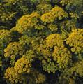 Herb Seeds - Dill Dukat