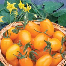 Golden Sweet Tomato