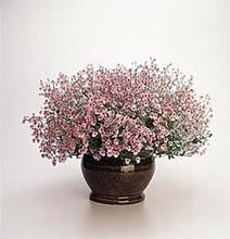 Diascia Diamonte Series Lavender Pink