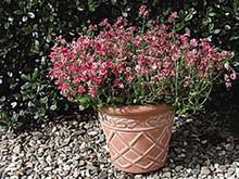 Diascia Diamonte Series Coral Rose
