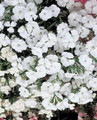 Dianthus Telstar Series White