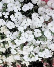 Dianthus Telstar Series White