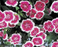 Dianthus Telstar Series Purple Picotee