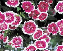Dianthus Telstar Series Purple Picotee