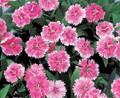 Dianthus Telstar Series Pink