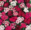 Dianthus Telstar Series Mix