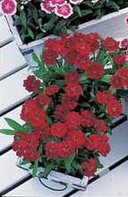 Dianthus Telstar Series Crimson