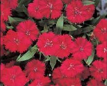 Dianthus Telstar Series Carmine Rose