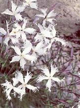 Dianthus Pinks Carnations Arenarius