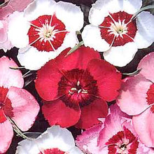 Dianthus Pinks, Carnations Alwoodii Alpinus