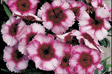 Dianthus Parfait Super Raspberry