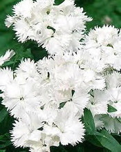 Dianthus Ideal Series White