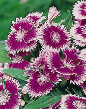 Dianthus Ideal Series Violet Picotee
