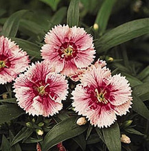Dianthus Ideal Series White Fire