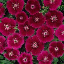Dianthus Ideal Series Violet