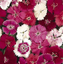 Dianthus Ideal Series Mix